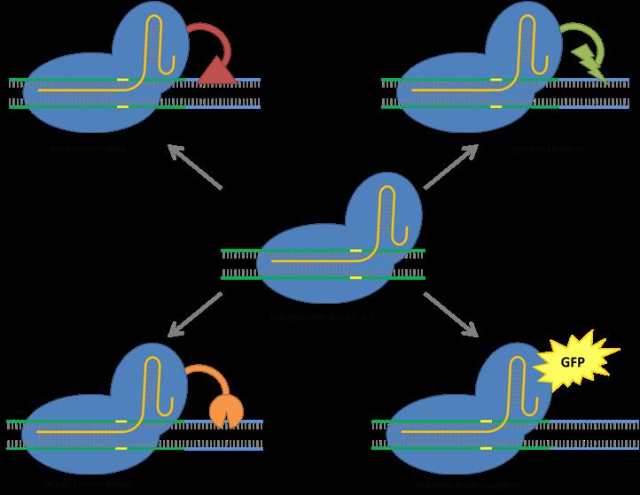 Diverse applications of CRISPR-Cas9 (Figure: The C4 Rice Center)