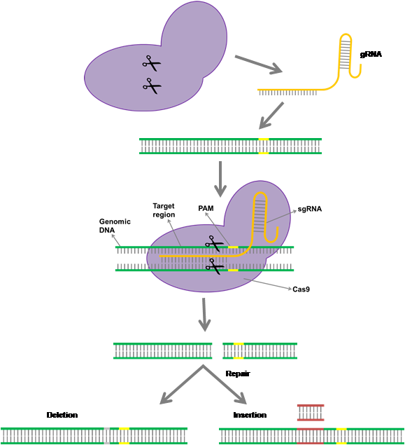Mode of action of CRISPR-Cas9 (Figure: The C4 Rice Center)
