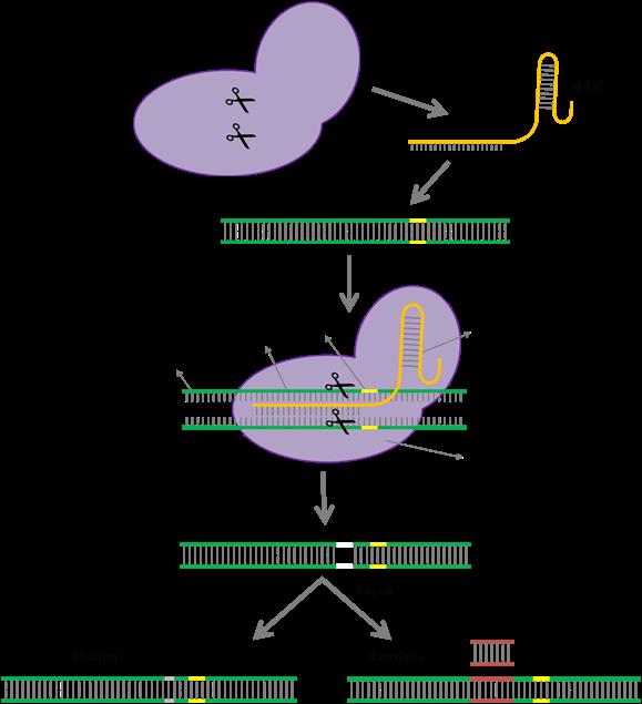 Mode of action of CRISPR-Cas9 (Figure: The C4 Rice Center)