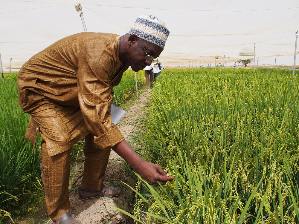 Samba Diallo, local rice farmer examining hybrid rice plants at AfricaRice station in Saint Louis, Senegal. (Photo by R. Raman, AfricaRice)