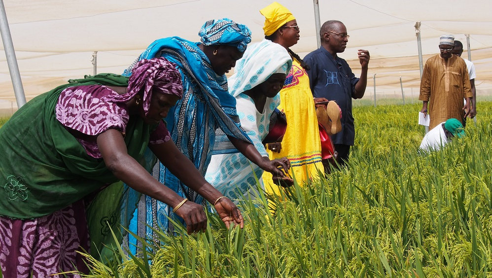 African farmers inspecting the early-maturing and high-yielding hybrid rice varieties developed by AfricaRice at Saint Louis, Senegal. Hybrid rice can provide an avenue for the farmers to raise their crop yields and profitability. (Photo by R. Raman, AfricaRice)