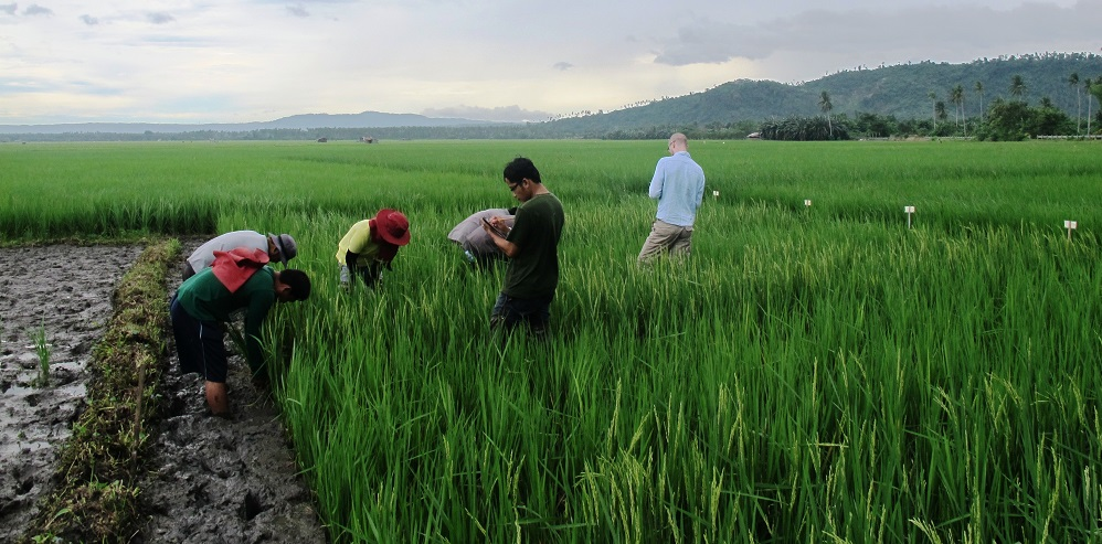 IRRI scientists are rating the impact of bacterial blight on rice crop. (Photo by Eula Oreiro, IRRI)