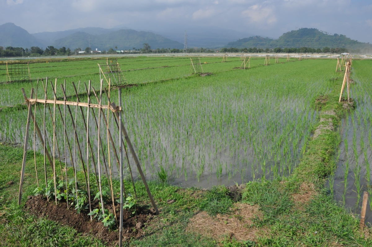 IPM in action: Planting flowering plants around rice fields have been shown to conserve natural enemies and improve natural pest regulation so that insecticide use can be limited to occasions in which they are absolutely necessary (Photo by Sylvia Villareal, IRRI).