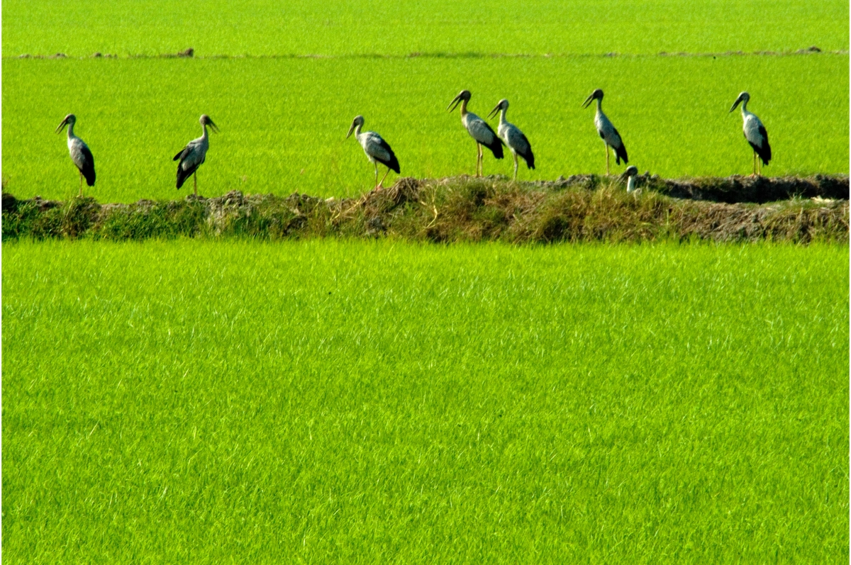 Asian open-billed storks forage for food on a rice field in Thailand. (Photo: IRRI)