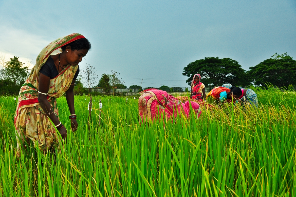 With diminishing and threatened land, water, labor, and energy resources and the problems brought about by climate change, rice will have to be produced, processed, and marketed in more sustainable and environment-friendly ways. (Photo: IRRI)