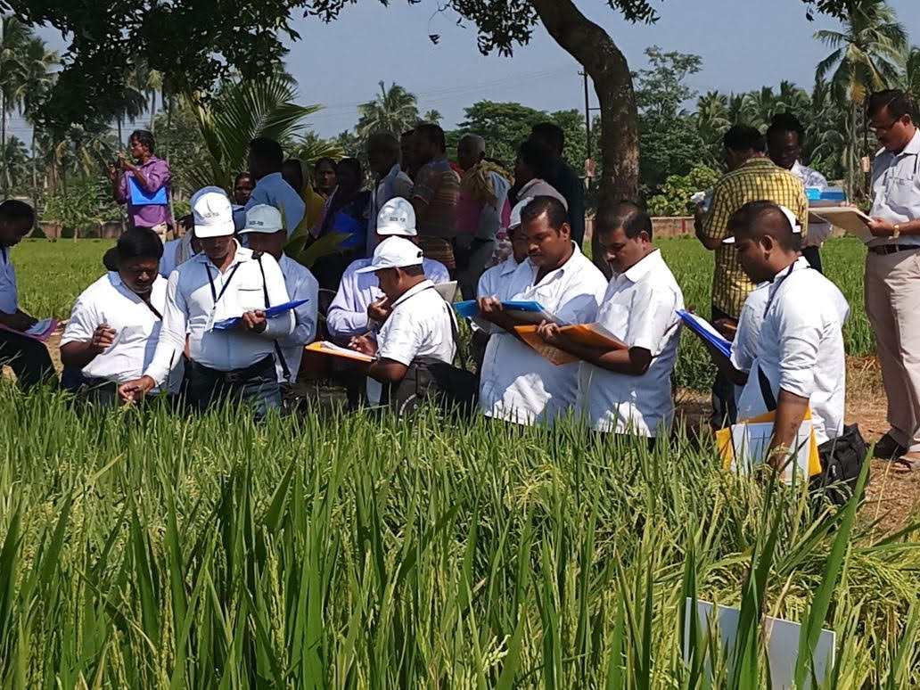 Participants at an Evidence Hub in Puri District evaluating rice varieties. (Photo: IRRI India)