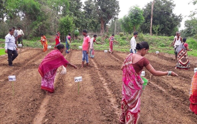 Members of the Maa Thakurani SHG in Gananathpur Village in Kalahandi District select the best rice varieties and show their potential to become viable enterprises. (Photo: IRRI India)