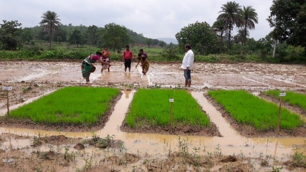 The Swarna Laxmi SHG is aiming to make quality seeds of preferred rice varieties locally available to farmers through seed entrepreneurship. (Photo: IRRI India)
