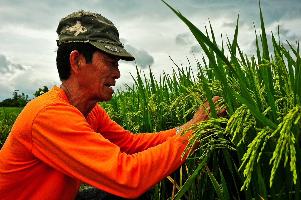 A farmer inspecting GSR8 in Victoria, Laguna. (Photo: IRRI)