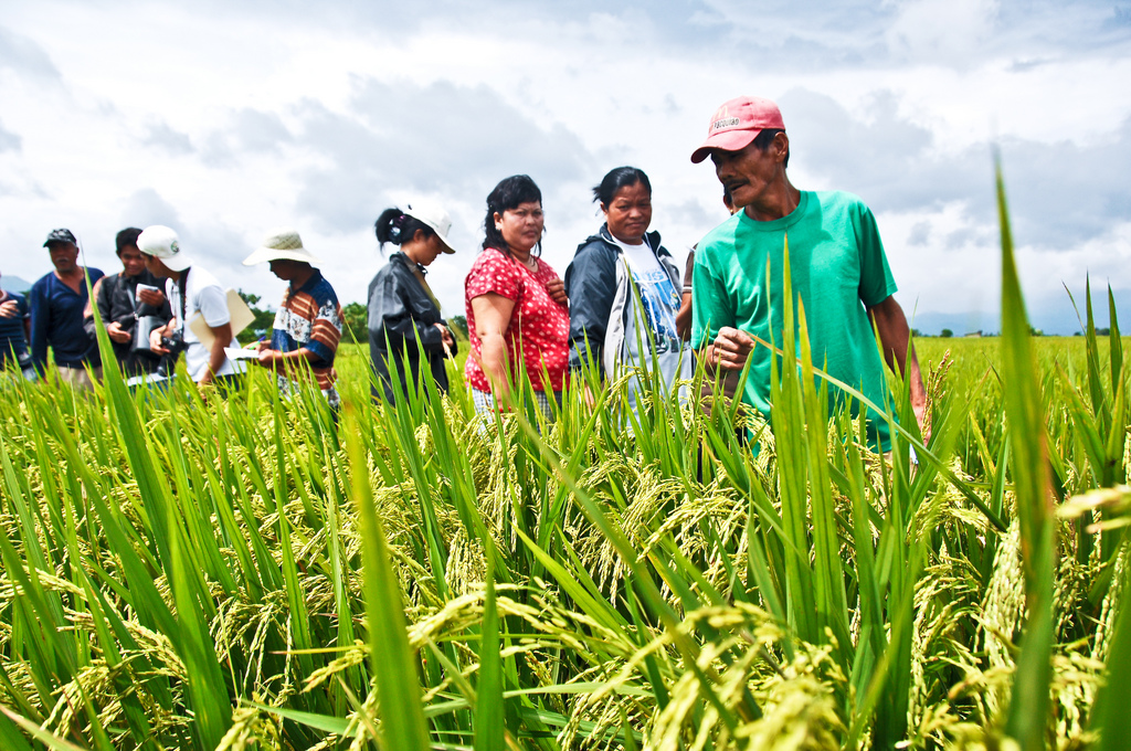 Farmers check the best variety of Green Super Rice during the GSR field tour visit at a farmer's field in Victoria, Laguna. These cultivars can produce high and stable yields with less water, fertilizers, and pesticides. (Photo: IRRI)