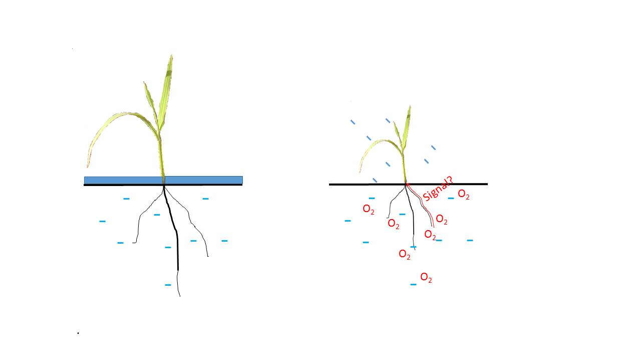 Rice plants (right) grown in aerobic conditions are shorter, flower earlier, and bear smaller panicles than continuously flooded plants. This could be caused by a signal sent by the roots to the shoot organs. (Image by B. Clerget)