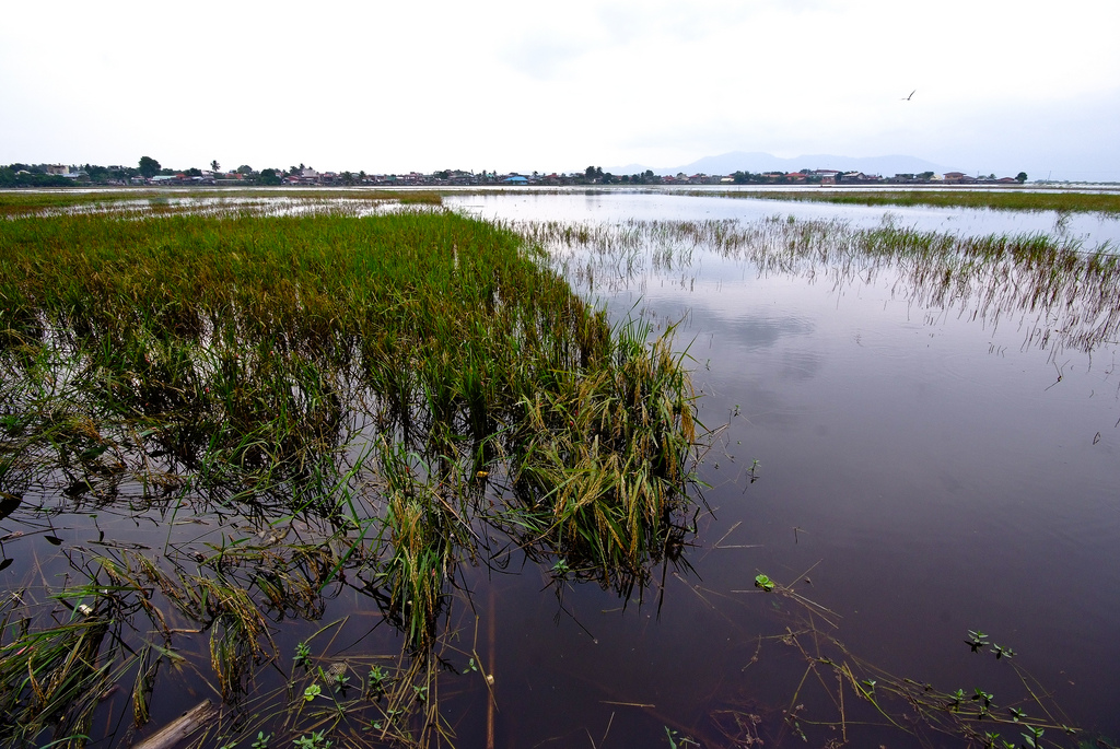 In Asia, where most of the world's rice is grown, about 20 million hectares of rice land, such as this field in the Philippines, is prone to flooding. (Photo: IRRI)