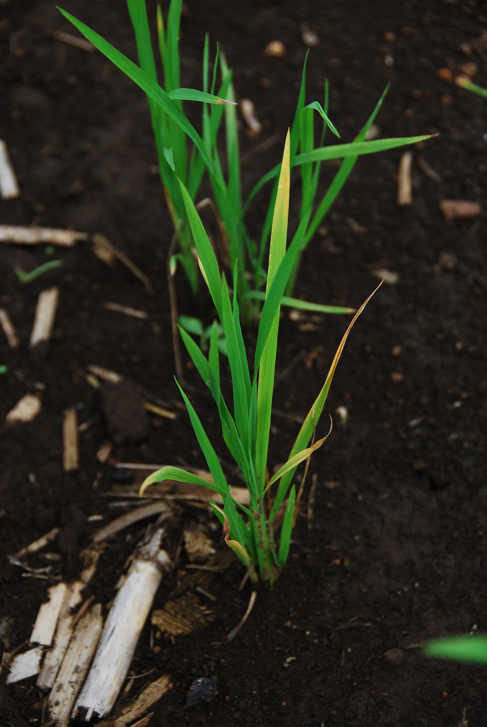A DSR seedling developed using marker-assisted breeding experiments at the ZES. (Photo: IRRI)