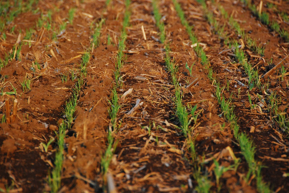 Rice seedlings emerging from a field using reduced-tillage DSR. (Photo: IRRI)
