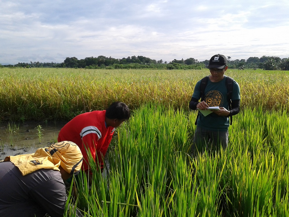 The speed at which PathoTracer can identify the strains of bacterial blight present in the field can be used for recommending resistant rice varieties to farmers for planting in the next cropping season. (Photo: IRRI)