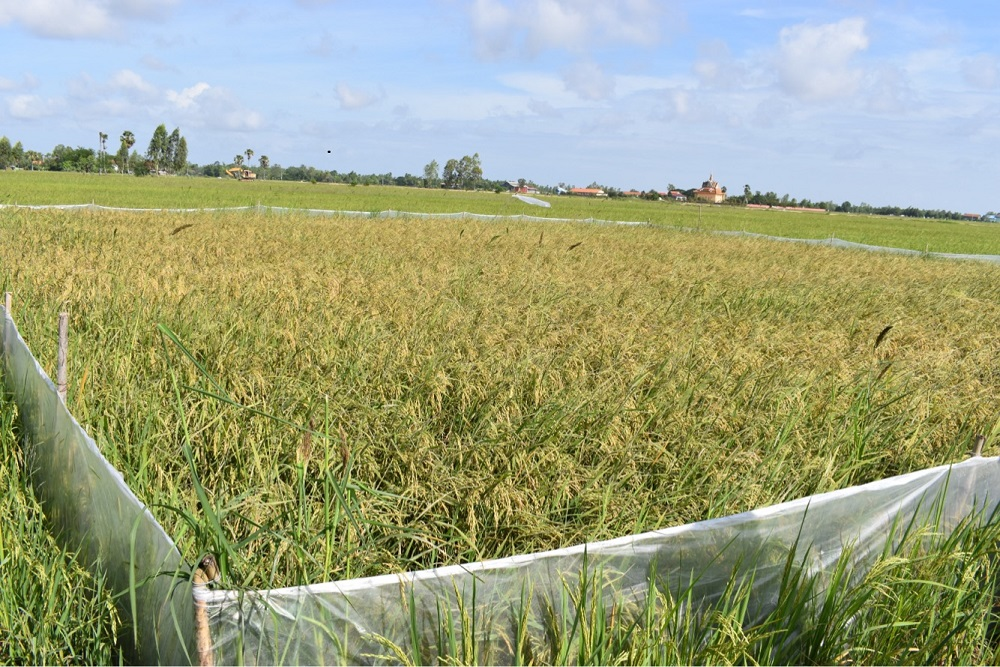 A CTBS set up in an intensive rice-growing area in Trang District. Rice crop inside the fence was planted two weeks earlier than the surrounding crops. (Photo: EPIC)