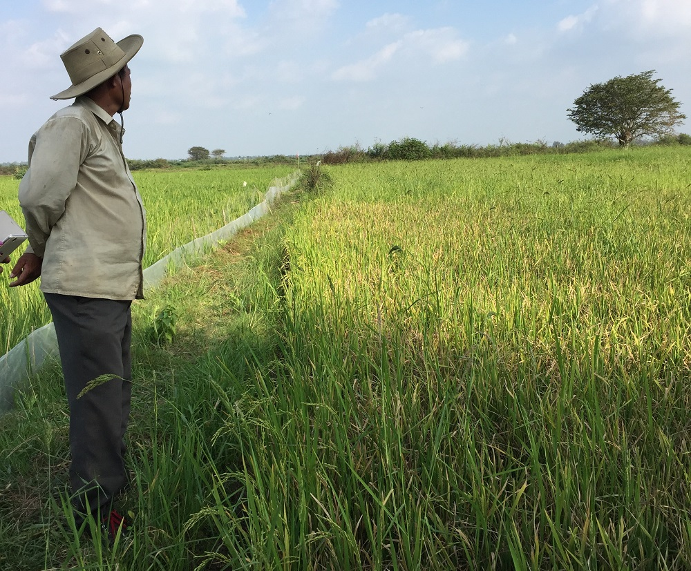 Mr. Nget surveys the rodent damage in the unprotected neighboring rice fields. (Photo: EPIC)