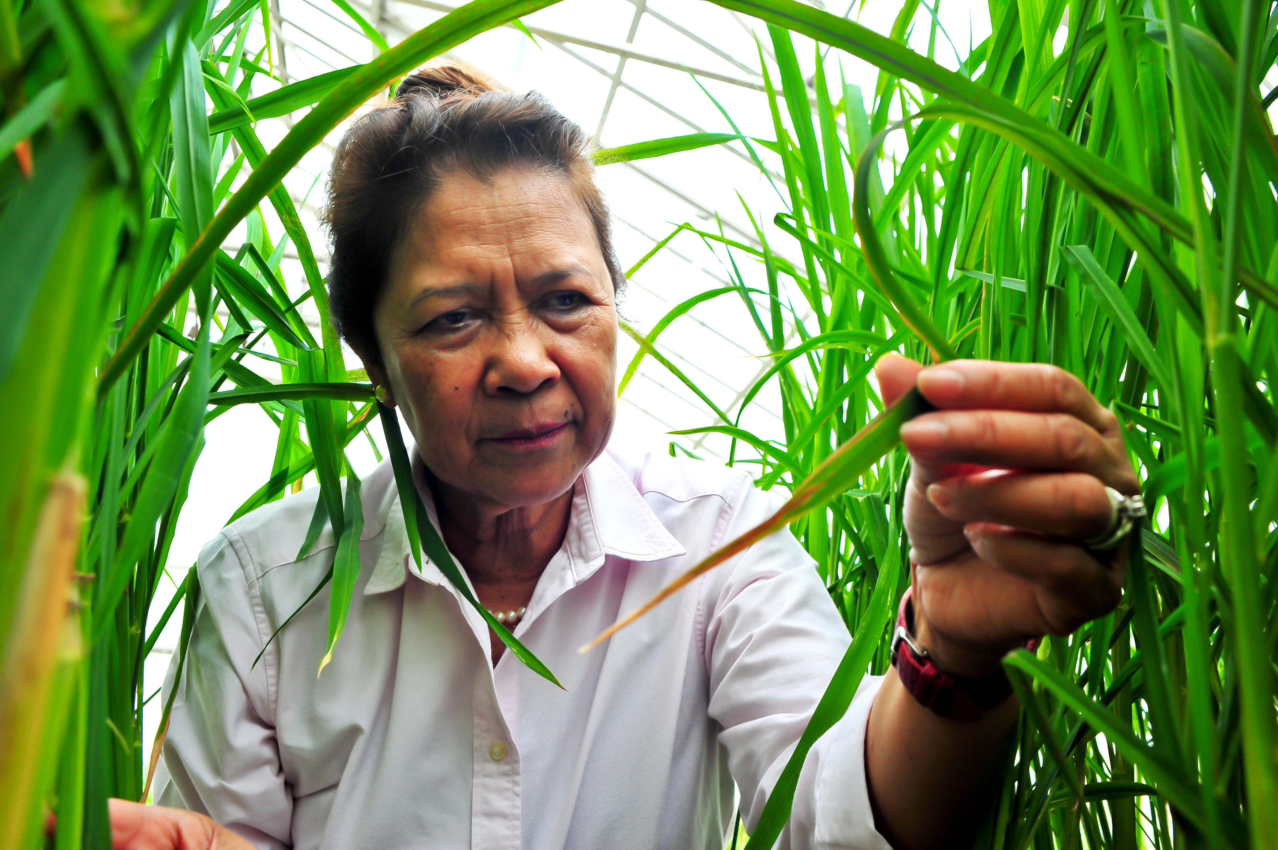 Nollie spent 34 years as a member of IRRI's rice plant pathology team developing new strategies to fight the major diseases that afflict rice plants. (Photo: IRRI)