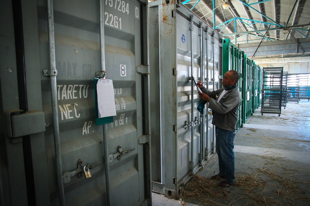 Geothermal dryers have replaced kerosene flatbed dryers in postharvest processing for breeding and agronomy research activities at IRRI headquarters (Photo by I. Serrano, IRRI)