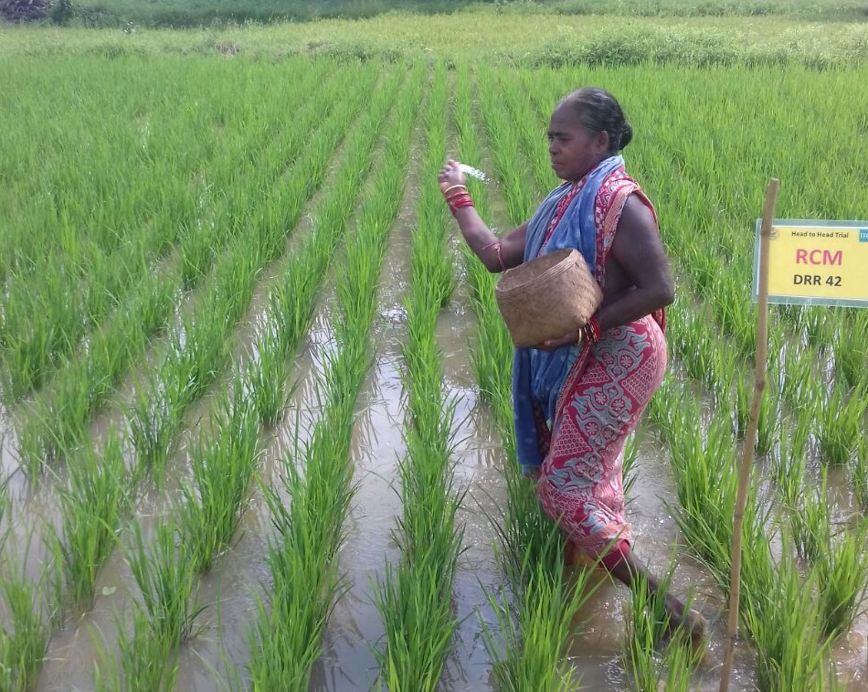 Jagyasini Dharua applying fertilizer in her rice plot. (Photo by Pradyumna Mohapatra)