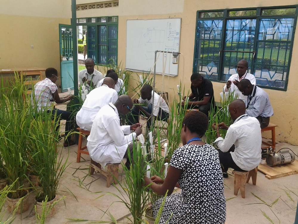 Rice breeders have developed three new rice varieties at the IRRI-ESA Office in Bujumbura using selected IRRI varieties with good agronomic traits, adaptability to different agro-ecological systems, and resistance to blast and sheath rot. (Photo: IRRI)
