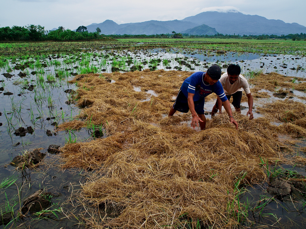 Farmers incorporating rice straw into the soil. Rice straw incorporation into the soil is among the management practices that increase soil organic carbon in lowland rice and is considered important for recycling nutrients. (Photo by I. Serrano, IRRI)