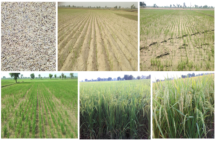 Natural hydrogel-coated paddy seed (upper left) sown using DSR technology in rain-fed dryland zone in Northwestern India. (Photo by V. Latther)