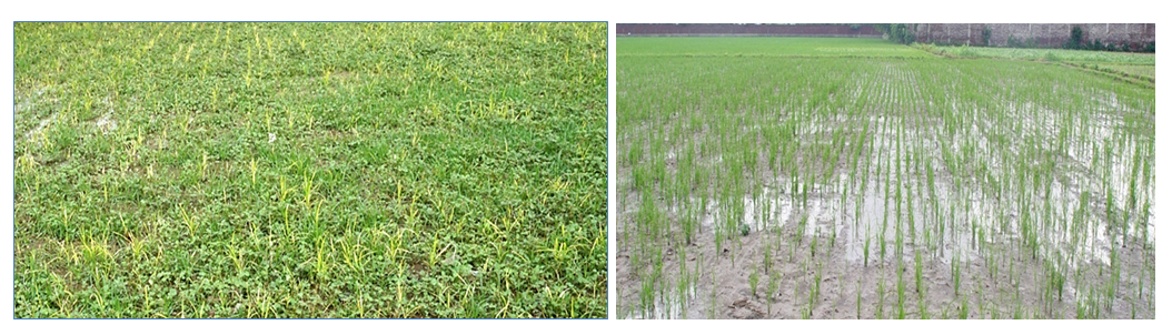 A farmer's rice field in Karnal-Haryana. On the left, rampant weed growth using traditional DSR method. On the right, the same field using DSR and organic hydrogel technology with delayed first irrigation at 15-20 days after sowing. (Photo by V. Lather)