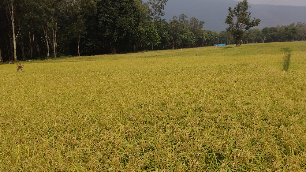The village's hard efforts were rewarded by a bountiful first harvest in January 2017 The Sadivayal farmers harvested their first profitable crop in five years. (Photo: Amrita SeRVe©)