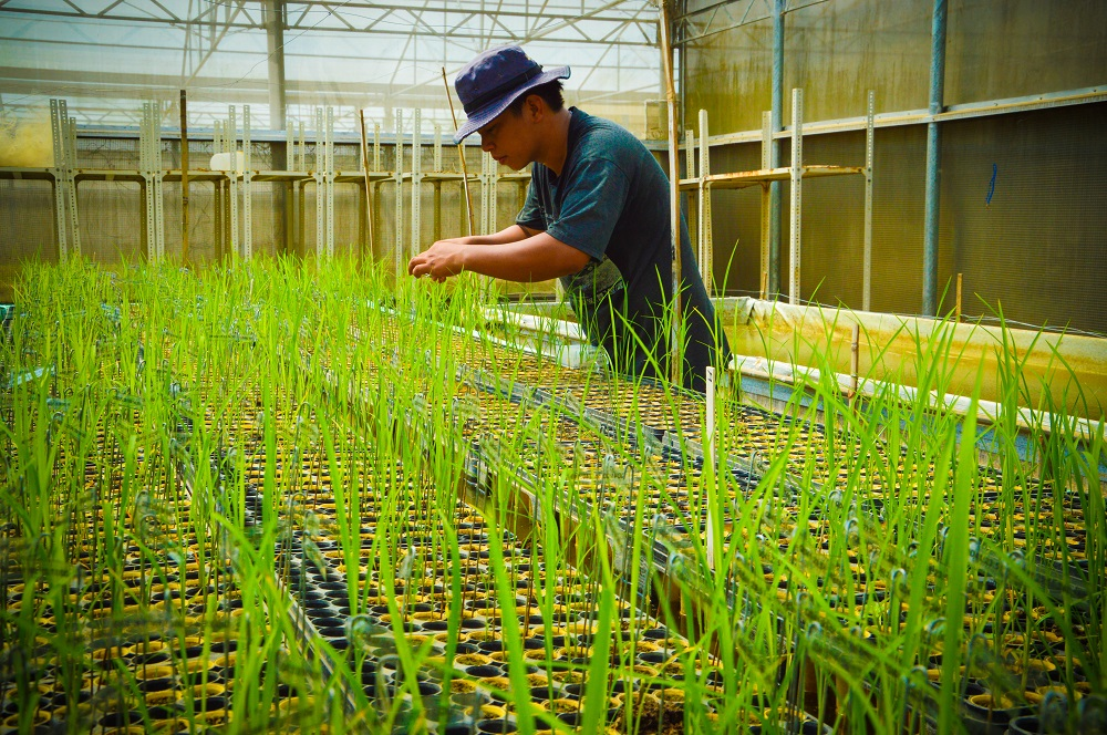 Integrating MAS with more recent advances in molecular breeding technology, such as genomic selection, can help accelerate the delivery of high-value varieties to farmers.