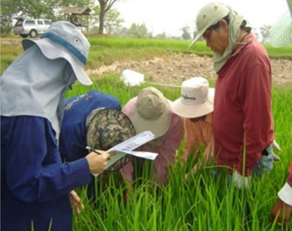 Ms. Arunmit ensures that farmers are knowledgeable in identifying rice black bugs and the effective ways of managing them. (Photo courtesy of Sukanya Arunmit)