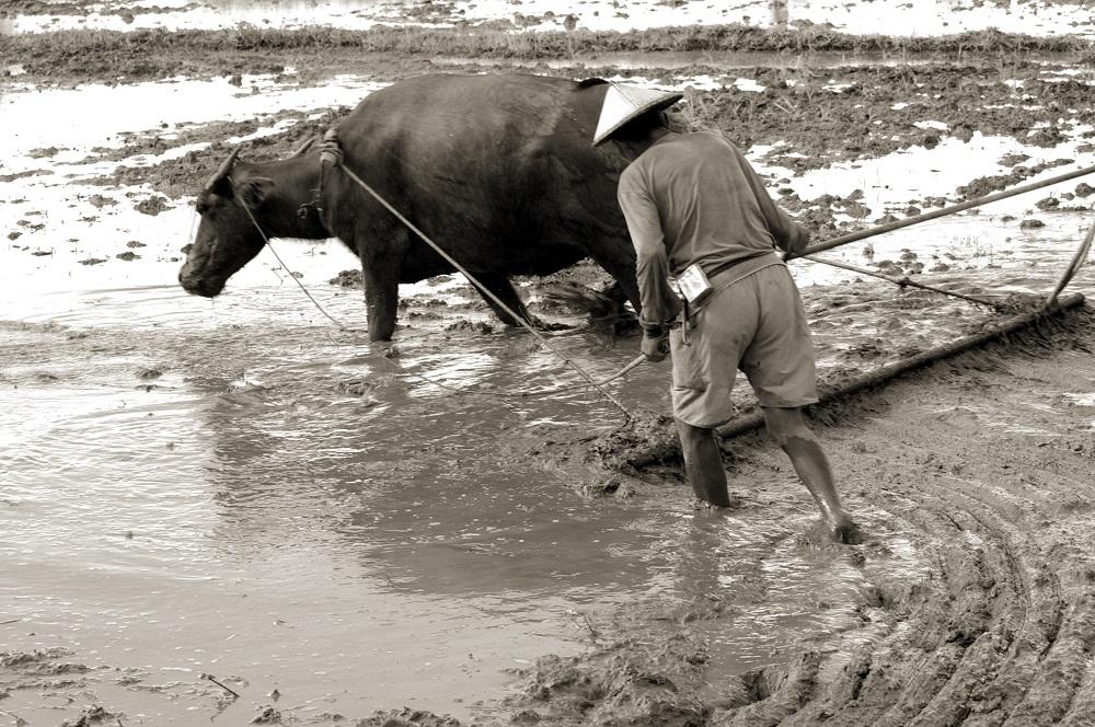 A Filipino farmer harrowing a paddy field using a water buffalo. (Photo: IRRI)