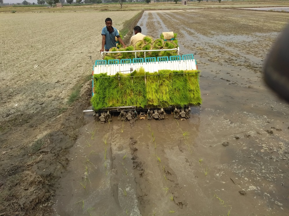 Hydroponically grown rice paddy being transplanted with a mechanical transplanter. (Photo: Ayurvet Reseearch Center)