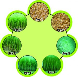 Hydroponics seven-day paddy growing cycle. (Photo: Ayurvet Research Foundation)