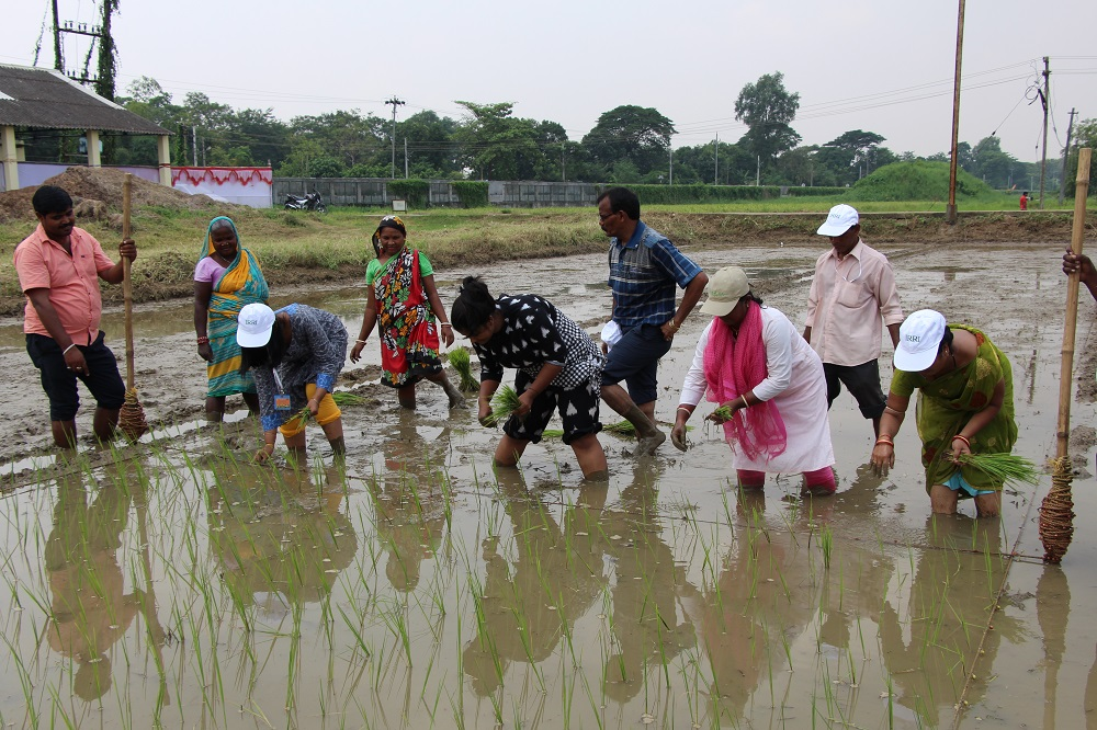 ToT participants are transplanting rice during a practical session on QSP. (Photo: IRRI India)