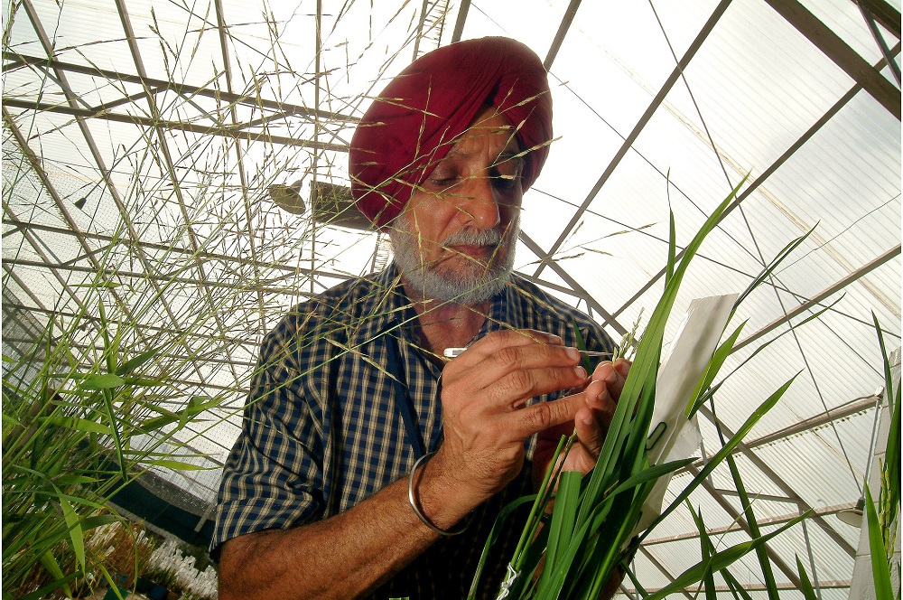 Dr. Brar emasculates a rice plant inside an IRRI greenhouse. (Photo by Ariel Javellana, IRRI)