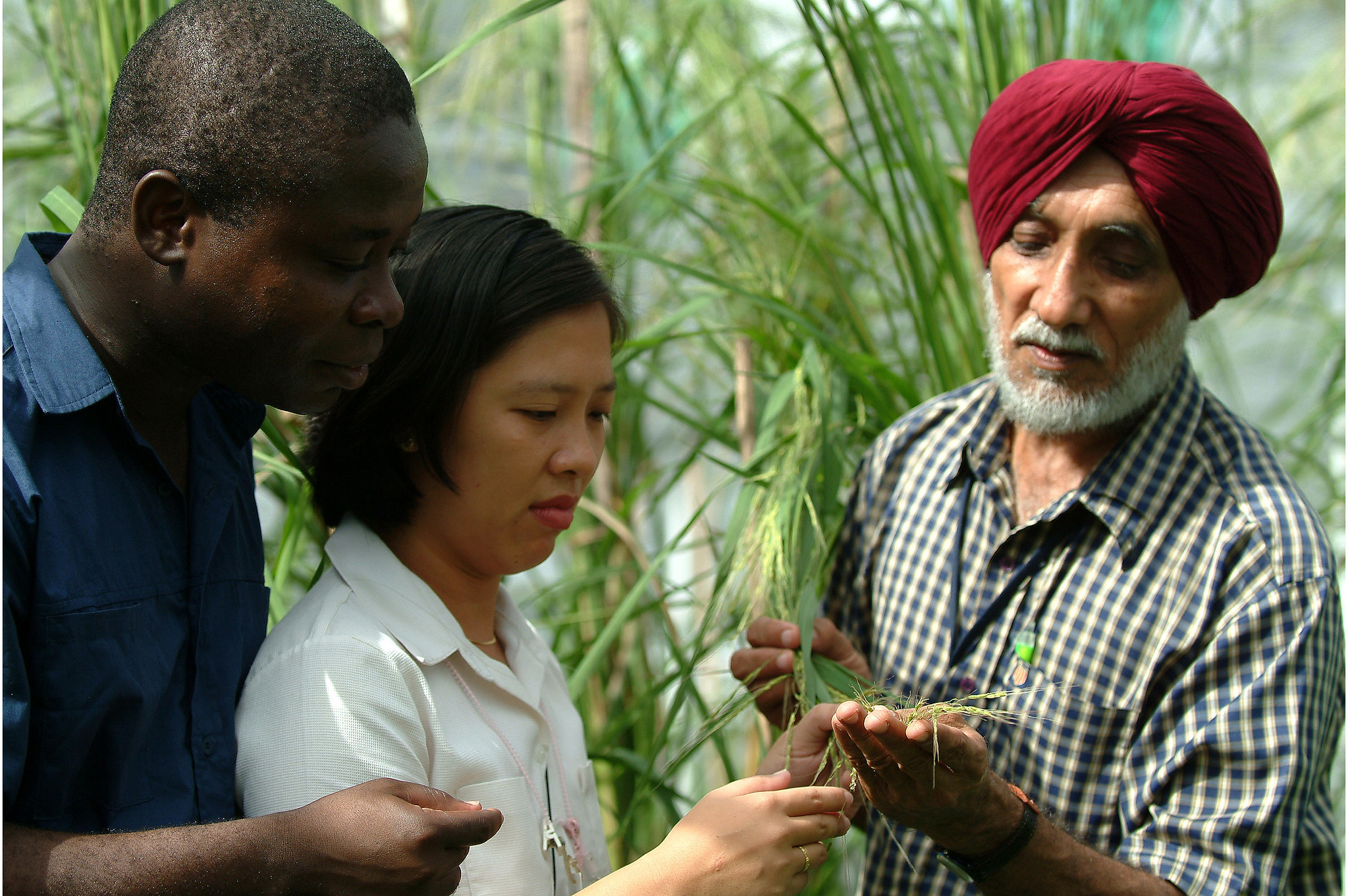 Dr. Brar show's a wild rice variety to IRRI researchers Kofi Bimpong and Joie Ramos. (Photo by A. Javellana, IRRI)