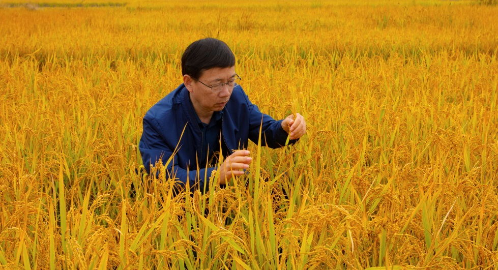 Dr. Peng inspects rice ratoon crop in Hubei, China. (Photo credit)