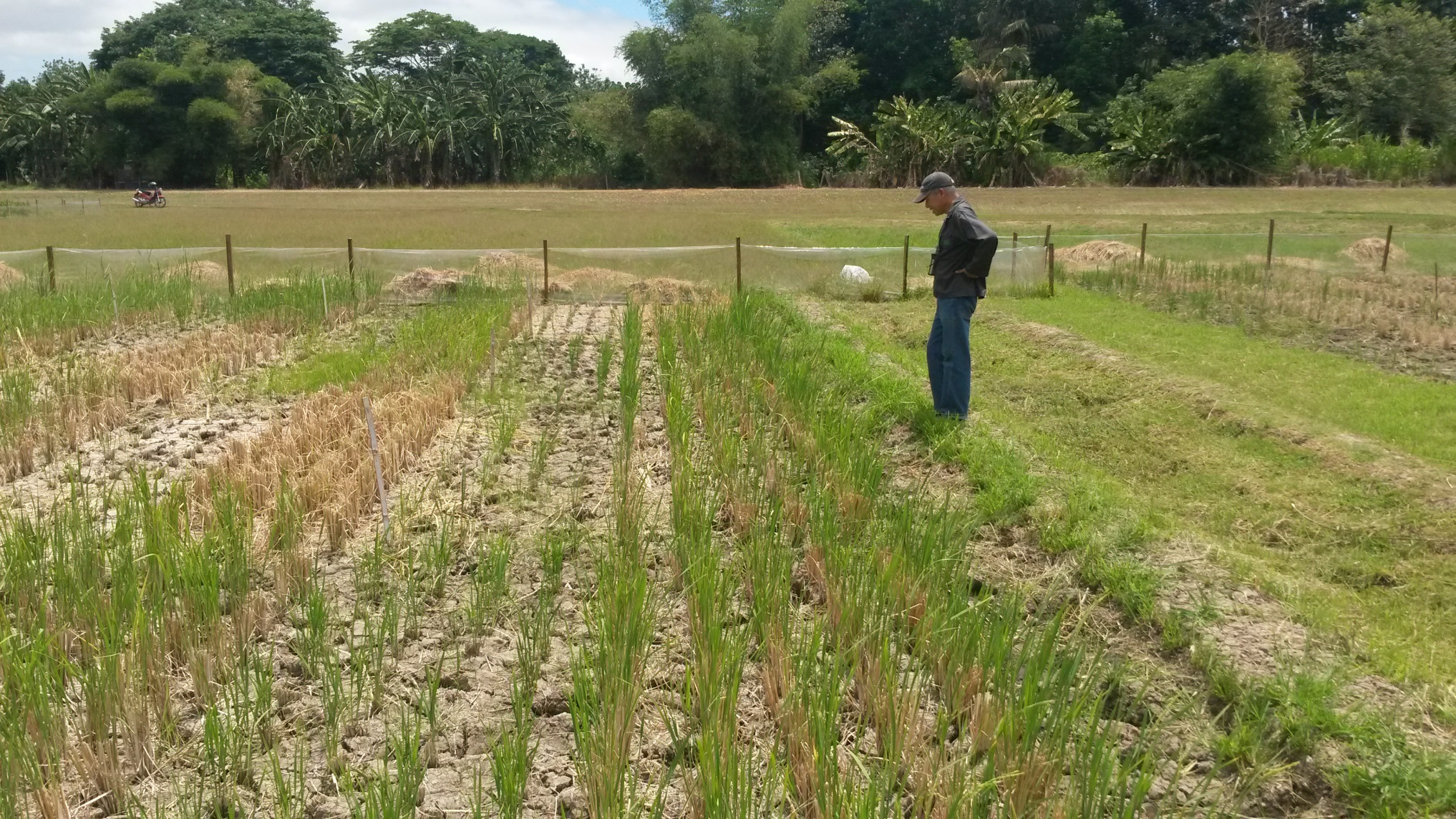 Mr. Torres observing genetic variation in ratoon crop growth at IRRI. (Photo by A. Henry, IRRI)