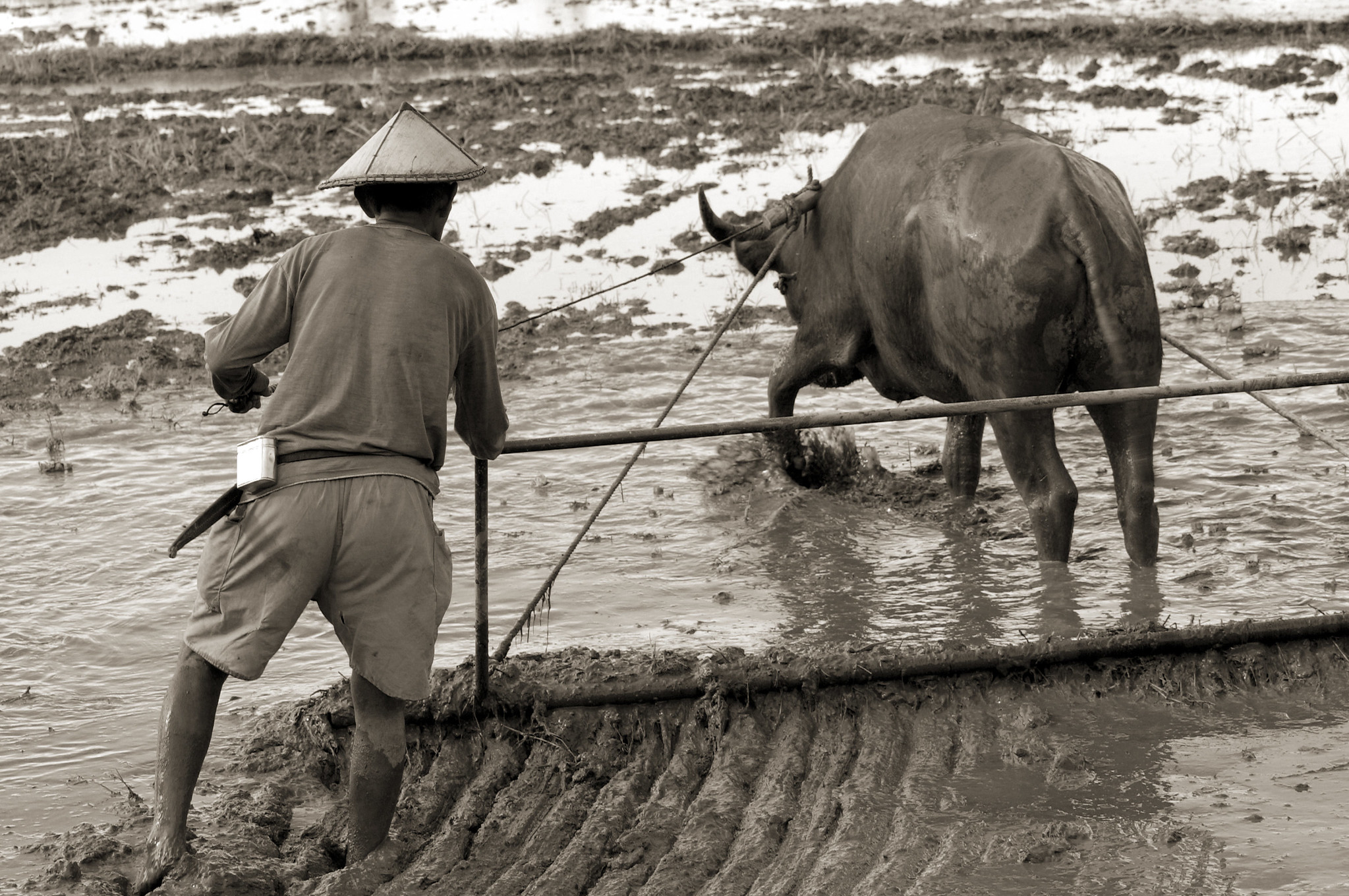 A rice farmer harrowing a paddy field using a water buffalo. (Photo: IRRI)