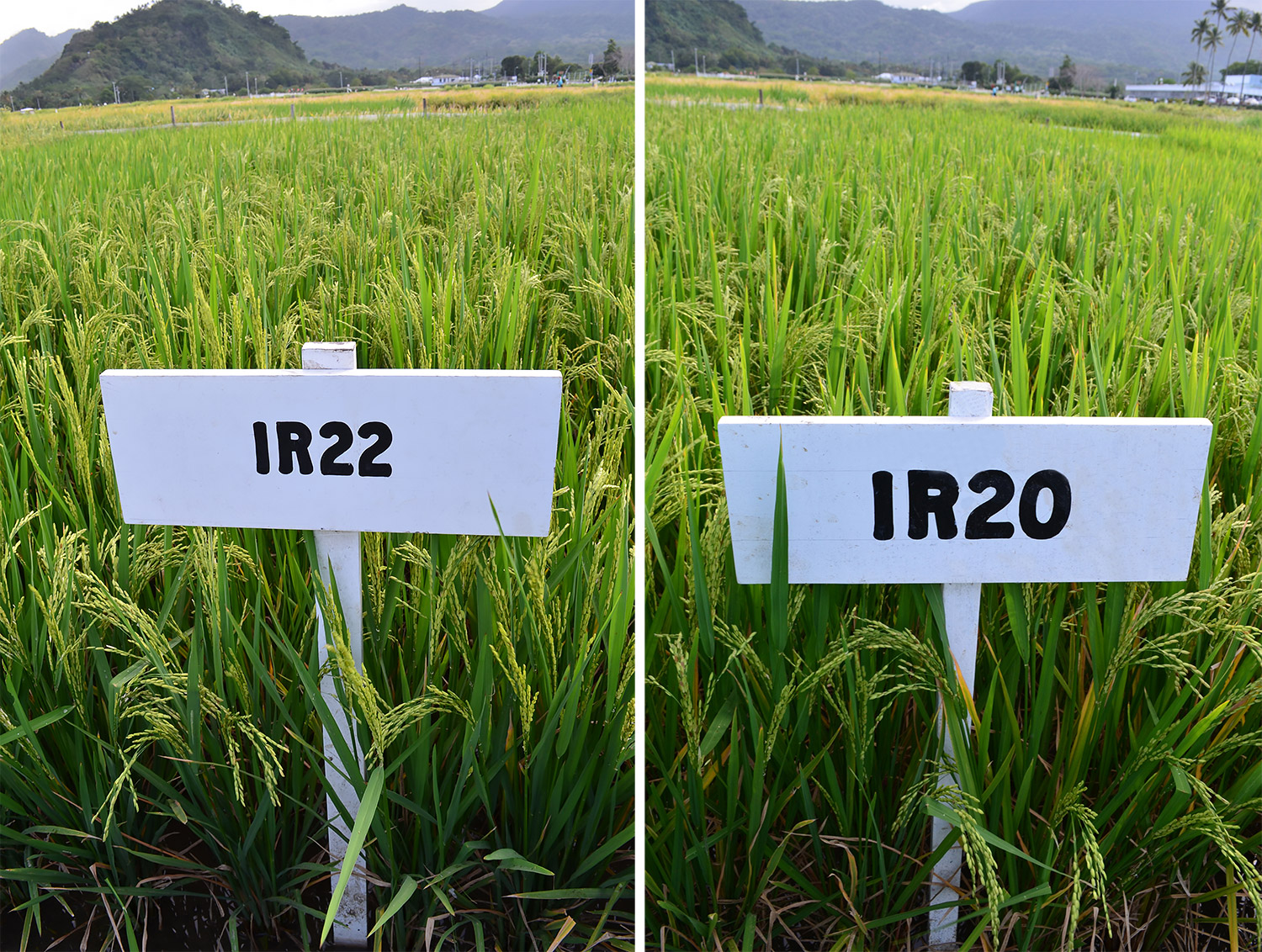 IR22 has a long, slender, translucent grain in contrast with the bold and chalky grain of IR8. IR20 has a medium-long, slender grain with little chalkiness. Its particular value is its disease and insect resistance.  (Photo: IRRI)