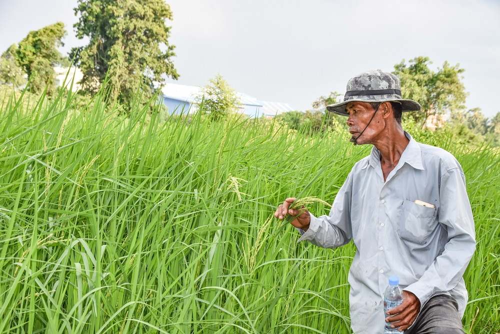 Mr. Soun was the first one in his village to implement a mechanized tractor in his fields the helped him achieved a healthy rice harvest. (Photo: IRRI)