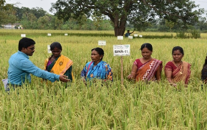 Women farmers at the BINA dhan-11 demonstration trial in Chakuli Village get an opportunity to evaluate BINA dhan-11. (Photo: IRRI India)