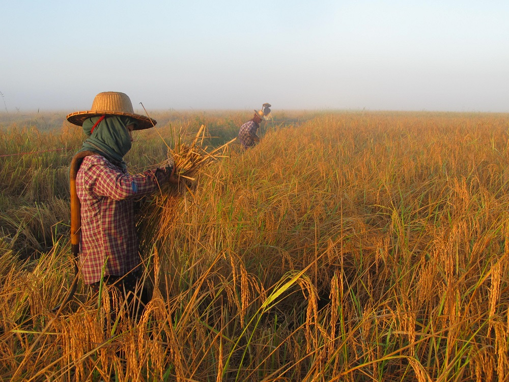 Studies conducted in farmers' fields clearly showed a reduction in the environmental footprint of rice production and an increase in yield and economic benefits to smallholder farmers in lowland rice cropping. (Photo: CORIGAP)