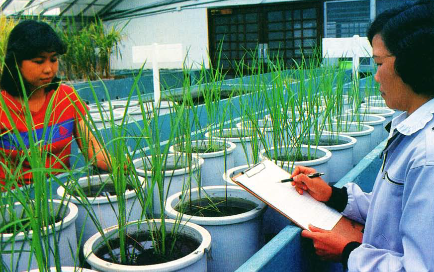 Screening for breeding lines tolerant of problem soil conditions is done in several stages, both in the greenhouse and in the field. (Photo: IRRI)