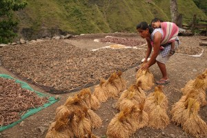 Never too old for farm work as an elderly from Mayoyao, Ifugao goes about with her daily farm upkeep chores.